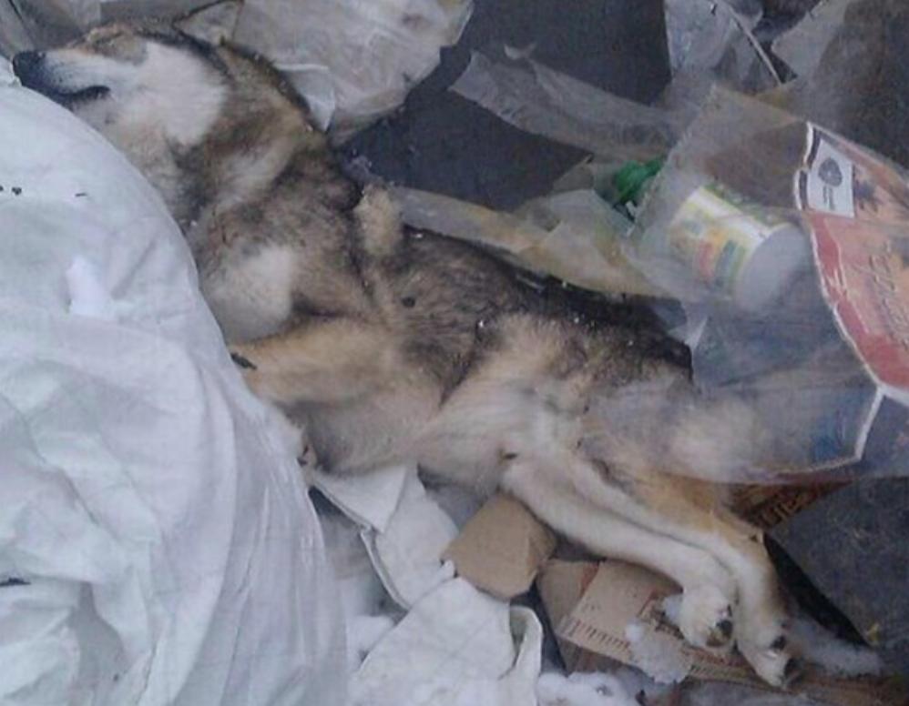 В Югре появились догхантеры, убивающие всех собак подряд