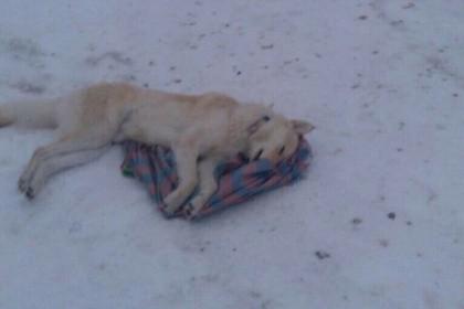 ВЮгре истребители убивают домашних собак отравленными дротиками